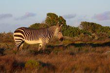 Free Cape Mountain Zebra Stock Images - 17844864