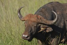 Free Sleepy Buffalo Stock Photography - 17845322