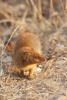 Free Slender Mongoose Royalty Free Stock Image - 17845326