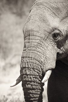 Free Elephant Portrait Stock Photos - 17846023