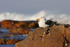 Free Kelp Gull Royalty Free Stock Image - 17846246