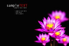 Free Pink Water Lily Royalty Free Stock Photos - 17847138