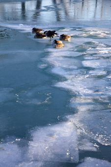 Geese On Lake Michigan Royalty Free Stock Image