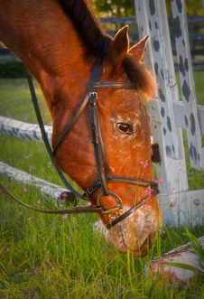 Free Brown Horse Grazing Stock Photo - 17847360