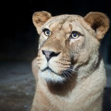 Free Close-up Portrait Of A Majestic Lioness Stock Photos - 17847433