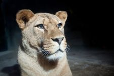 Free Close-up Portrait Of A Majestic Lioness Royalty Free Stock Photo - 17847435