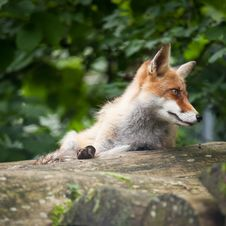 Free Red Fox Stock Photos - 17847463