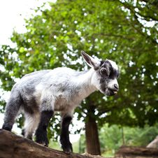 Free Cute Goat Royalty Free Stock Photo - 17847465