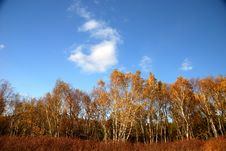 Free White Birch Trees And Blue Sky Stock Images - 17848124
