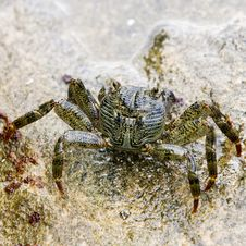 Common Rock Crab Standing In Rock Pool Stock Photo