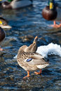 Free Grey Duck In River Winter Sunny Day Royalty Free Stock Photo - 17855965
