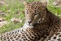 Free Leopard Laid Down Portrait Stock Photo - 17857580