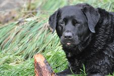 Black Labrador With Stick Stock Image