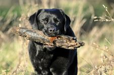 Free Black Labrador With Large Stick Royalty Free Stock Photography - 17850507