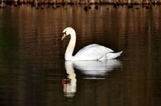 Free Swan On Lake Reflected Royalty Free Stock Image - 17850946