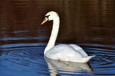 Free Swan On Lake Reflected Royalty Free Stock Photography - 17850987