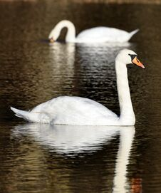 Free Pair Of Swans On A Lake Royalty Free Stock Images - 17851019