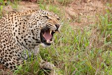Free African Leopard Snarling Royalty Free Stock Photos - 17851518