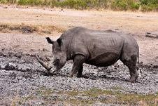 Free African White Rhinoceros Royalty Free Stock Photos - 17851798