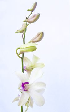 Free Orchids Flower Royalty Free Stock Photos - 17852998