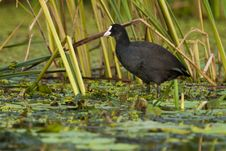Free Common Coot Royalty Free Stock Images - 17853199