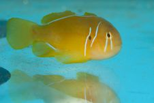 Free Citron Clown Goby Stock Photography - 17853242