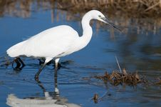 Free Little Egret In Water Stock Photos - 17853283