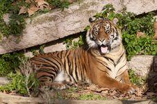 Free Tiger Resting Stock Image - 17853431