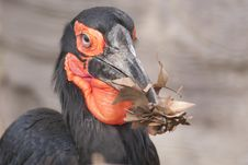 Free Cafer Or Southern Ground Hornbill Stock Photography - 17853462