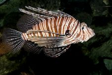 Volitan Lionfish (Pterois Volitans) Royalty Free Stock Photos