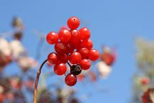 Free Red Berry Stock Photography - 17853792