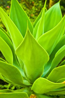 Free Aloe Vera Plant Royalty Free Stock Images - 17854009