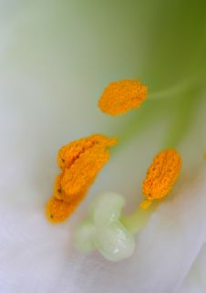 Free Close-up Of Lily Stamen Royalty Free Stock Photography - 17854047