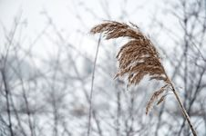 Free Frosty Reed 2 Royalty Free Stock Photography - 17854187