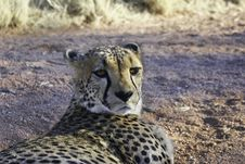 Free Cheetah Resting Royalty Free Stock Photos - 17854328
