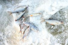 Freshly Caught Fish On The Snow Royalty Free Stock Image