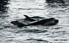 Mother And Baby Dolphins Royalty Free Stock Images