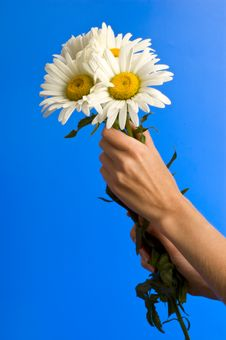 Free Camomile In Hand Stock Photography - 17855282