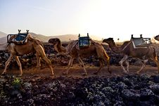 Free Camels In Sunset Stock Photos - 17855313