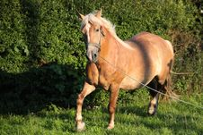 Free Brown Horse Royalty Free Stock Photography - 17855437