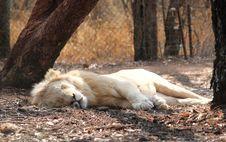 Free White Lion Royalty Free Stock Photo - 17855495