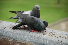 Free Feeding The Pigeon Royalty Free Stock Images - 17855519