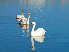Free Swans Stock Photos - 17855533