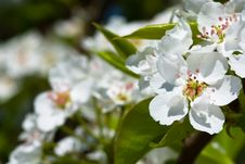 Free White Flowers Of Apple Tree Royalty Free Stock Images - 17856189