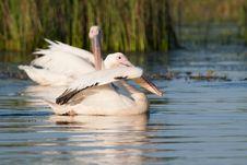 White Pelicans Royalty Free Stock Photo