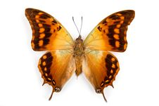 Free Butterfly Charaxes Candiope Isolated Royalty Free Stock Images - 17856419