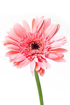 Free Gerbera. Stock Photography - 17856562