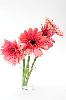 Free Gerbera. Stock Photo - 17856820