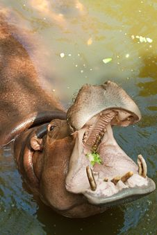 Free Hippopotamus Royalty Free Stock Photos - 17857408