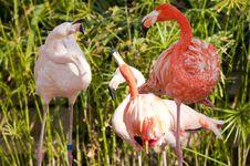 Free Flamingo Flock Arguing Royalty Free Stock Images - 17857469